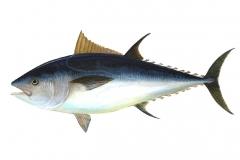 tuna-69317_1280