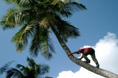 palm climber